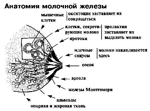 Удаление добавочной доли молочной железы / страница 2 | форум Woman ru